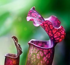 pitchers full of bokeh (marianna armata) Tags: red orange canada macro green closeup lumix open purple quebec bokeh montreal panasonic g1 fuscia marianna pitcherplant montrealbotanicalgarden armata mariannaarmata