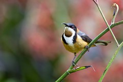 Eastern Spinebill (Callocephalon Photography) Tags: red flower bird pose australia honeyeater canberra kangaroopaw passerine easternspinebill spinebill acanthorhynchustenuirostris australiannationalbotanicgardens anbg
