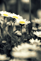 have a great weekend (Lina Hughes) Tags: bw flower nature australia lina tamron act yello deasy canon400d