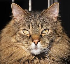 stonehenge head shot 5241 (Light of the Moon Photography) Tags: pet mountain feline kitty 15 rainier stonehenge mycat