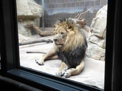Henry Doorly Zoo - African Lion (fkalltheway) Tags: nebraska lion bigcat omaha africanlion henrydoorlyzoo catcomplex omahashenrydoorlyzoo fkalltheway