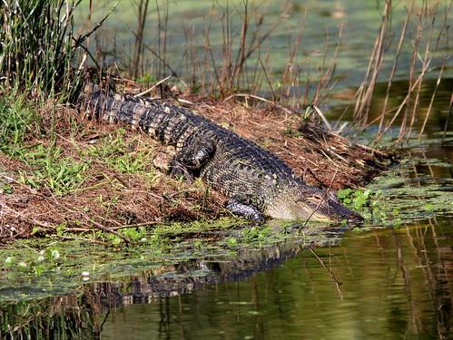 Alligator 20110220