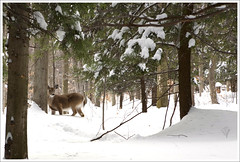 As Seen from Snowshoes... ([Christine]) Tags: winter snow doe westvirginia snowshoeing canaanvalley holycrapipostedaphoto