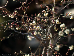 Spring sign (Marie Eve K.A. (Away)) Tags: winter flower tree nature japan kyoto dof bokeh f14 branches january 85mm olympus  bud shintoshrine  planar earlyspring ep2 plumblossoms  carlzeiss   whiteplumtree kitanotenmang kitanotenmangshrine