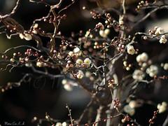 Spring sign (©Marie Eve K.A.❦ (away..)) Tags: winter flower tree nature japan kyoto dof bokeh f14 branches january 85mm olympus 京都 bud shintoshrine 北野天満宮 planar earlyspring ep2 plumblossoms 梅花 carlzeiss 早春 白梅 whiteplumtree kitanotenmangū kitanotenmangūshrine