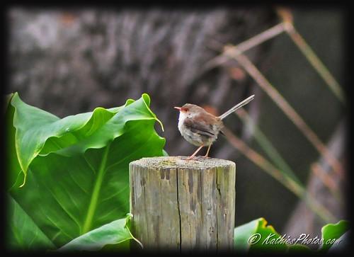 53-365 Superb Fairy-wren (female) on post