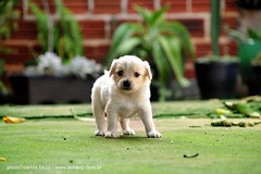 porquim (artland) Tags: street brazil dog baby white cute verde green art dogs beautiful look brasil puppy studio walking prime olhar nikon focus close little walk great cachorro cachorros parana filhote artland filhotes d300 streetdog cianorte carlosbezz artlandstudio