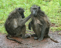 Baboons in the Rain (cowyeow) Tags: africa mist cute water rain misty hair southafrica monkey togetherness droplets funny sweet african adorable safari grooming messy messyhair monkeys baboon caring raining helpful badhair badhairday touching downpour zulu baboons kwazulunatal funnyhair zululand drizzling zulunatal funnyafrica drizzles