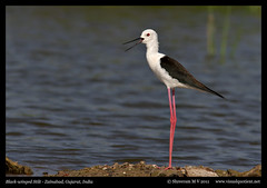 Black-winged Stilt - Explored! (M V Shreeram) Tags: india bird nature birds canon wildlife aves ave 7d gujarat darter avifauna himantopushimantopus blackwingedstilt recurvirostridae 300mmf4is zainabad littlerannofkutch visualquotient wwwvisualquotientnet wwwfacebookcomdarterphoto
