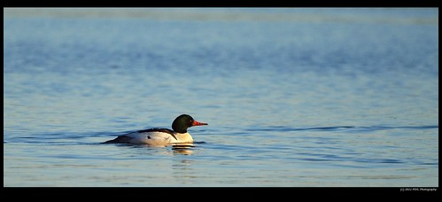 Common Merganser Male (Mergus merganser)