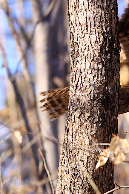 lilly, the barred owl, flies to new perch
