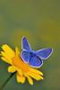 Argus bleu (Polyommatus icarus) Common Blue (aziouezmazouz) Tags: macro butterfly colours bokeh vivid pictureperfect beautifulscenery bellissima vibrantcolours macrolicious beautifulcapture macromarvels