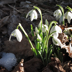 Now i'm sure - spring is coming!! (rotraud_71 away again ~) Tags: snow flower spring snowdrop galanthusnivalis schneeglckchen naturesfinest fantasticnature amarillidaceae olddryleaves