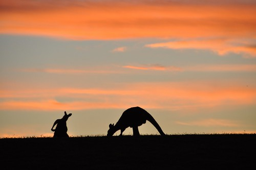 Kangaroos scratching and feeding at sunset