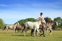 La madrina tordilla (Eduardo Amorim) Tags: horses horse southamerica argentina criollo caballo cheval caballos cavalos pferde herd cavalli cavallo cavalo gauchos pferd pampa hest hevonen chevaux gaucho  amricadosul hst gacho  campero amriquedusud provinciadebuenosaires  gachos  sudamrica sanantoniodeareco suramrica amricadelsur  areco sdamerika gregge crioulo troupeau caballoscriollos herde criollos  tropillas  pampaargentina camperos americadelsud tropilhas tropilla  crioulos cavalocrioulo americameridionale tropilha caballocriollo campeiros campeiro eduardoamorim cavaloscrioulos iayayam yamaiay pampaargentino