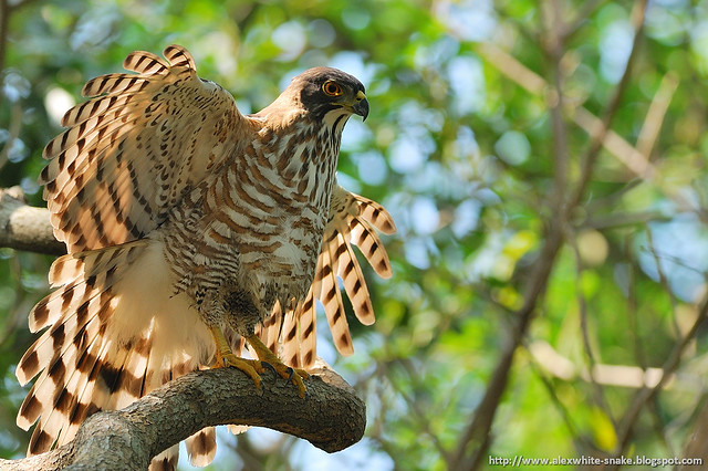 鳳頭蒼鷹 - 雌鳥 Crested Goshawk (Female)