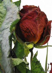 In numele trandafirului  by claudiunh