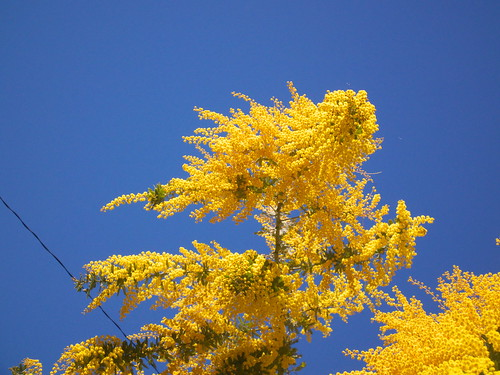 Yellow spring ~mimosa~