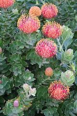 Protea en Haría Lanzarote Mar11 (lanzarote rural) Tags: color planta rural spain flora natural flor lanzarote rama protea islascanarias haría