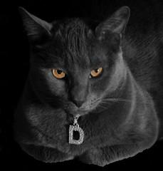 "Davey ""D"" (harleyannie) Tags: bw silly cute cat grey feline sweet gray kitty davey"