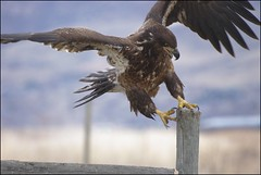 Hold on tight (Utah Mountain Mike) Tags: water utah inflight action bokeh wildlife beak feathers wingspan birdsofprey goldeneagle talons birdrefuge farmingtonbay sigmalens thewildlife utahmountainmike twotom19204