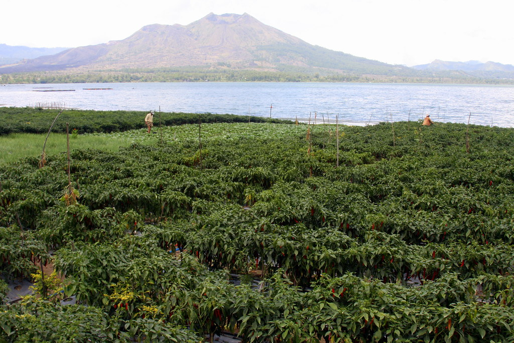 Fields, lake and Gunung Batur, Bali