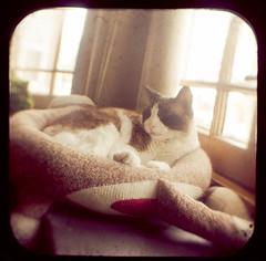 Comfy Kitty TtV (Flowerquetzal) Tags: rescue cat snowshoe siamese naptime anscoflex ttv throughtheviewfinder