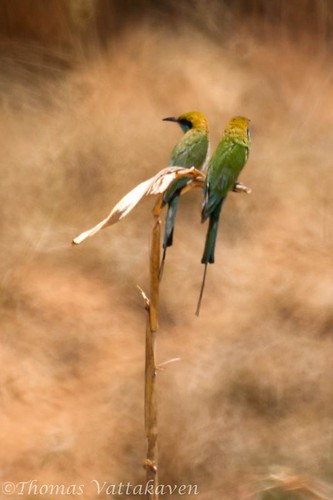 Green Flycatcher