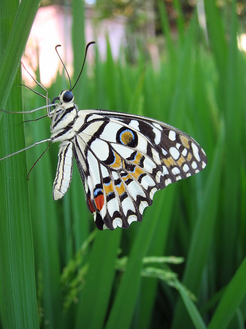 Butterfly in paddy field
