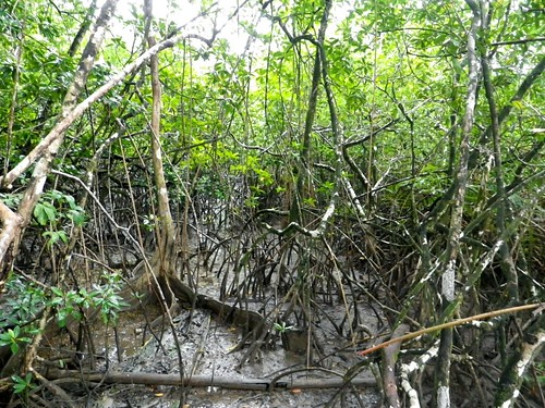 mangroves montsinery
