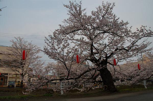 Sakura_of_Fukushima