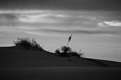 Sand Side Property (DEARTH !) Tags: blackandwhite newmexico silhouette delete10 delete9 delete5 delete2 desert delete6 delete7 whitesands save3 delete8 delete3 delete delete4 save save4 save5 save6 alamogordo delete11 nationalmonument sanddunes desertflower americansouthwest deletedbythehotboxuncensoredgroup