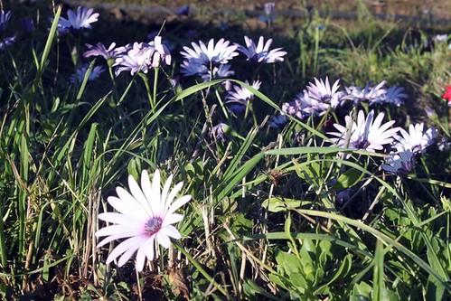 tassie flowers