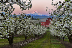 Sunkissed (pdxsafariguy) Tags: flowers trees usa mountain oregon barn rural sunrise landscape spring seasons farm blossoms orchard pear pacificnorthwest agriculture mounthood blooming tomschwabel hoodrivervalley