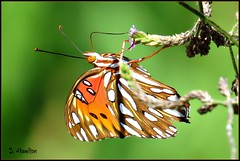 Gulf Fritillary Butterfly (Suzanham) Tags: gulffritillarybutterfly mississippi wildlife nature insect bug canonpowershotsx60sh butterfly wings wildflower