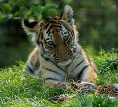 Tigger (Chris Sweet 85) Tags: tiger tigercub marwell flickrbigcats nikon nikond7100