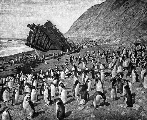 [フリー画像] 動物, 鳥類, ペンギン科, モノクロ写真, オーストラリア, 201102020100