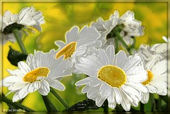 Plucking Daisies... Deshojando margaritas... (Arice39) Tags: reflection image thoughts reflexion margaritas imagen pensamientos plucking deshojando