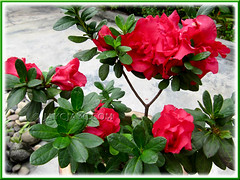 Lovely blooms of Rhododendron simsii or Azalea indica in our garden