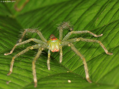 green spider with bright orange markings - indet. from W-Papua (gbohne) Tags: macro closeup canon indonesia spider rainforest flash tropical spinne predator papua animalia arthropoda unidentified arachnida araneae regenwald araneomorphae labalaba specinsect taxonomy:class=arachnida taxonomy:order=araneae taxonomy:phylum=arthropoda taxonomy:subphylum=chelicerata lowlandrainforest geo:country=indonesia beautifulmonsters 100mmf28canon taxonomy:suborder=araneomorphae mygearandme mygearandmepremium mygearandmebronze mygearandmesilver mygearandmegold geo:region=asia wpapua