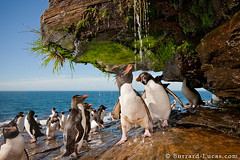 Penguin Shower (Burrard-Lucas Wildlife Photography) Tags: water shower penguins fresh falklands washing rockhopper falklandislands viaflickrqcom