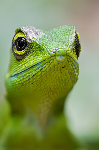 green crested lizard focus stacked IMG_0598stk copy