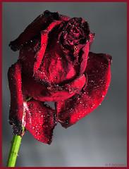 Verfall einer Rose - Decay of a rose (P.Höcherl) Tags: red flower macro rot nikon blume makro tamron d300 top20colorpix flickrunitedaward spaf60mmf2diiimacro yn560