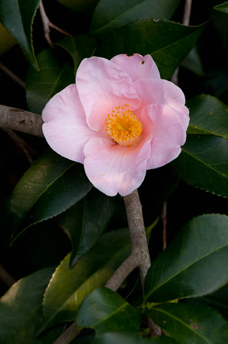 Camillia at Desconso Garden