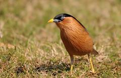 Brahminy Starling (mark.photos) Tags: wild india nikond90 bharatpurbirdsanctuary