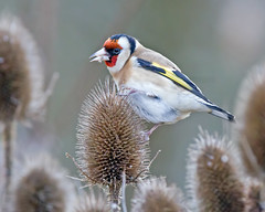 Goldfinch (Andrew H Wildlife Images) Tags: bird nature coventry warwickshire brandonmarsh wildlufe canon7d ajh2008