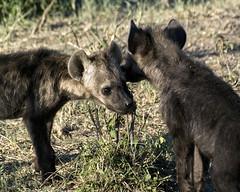 Hyena 013 (joannehedger) Tags: africa kenya hyena masaimara crocutacrocuta spottedhyena kicheche joannehedger httpjoannehedgerblogspotcouk