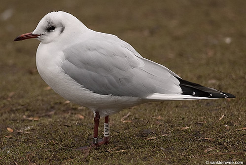 Black-headed Gull, 5cy, W[LWA]
