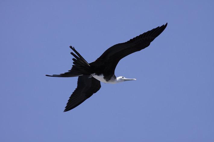 012311_bird_frigatebird03