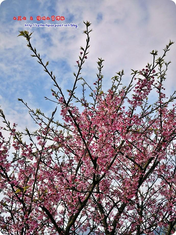 69 平菁街42巷櫻花樹